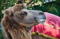 La tête du chameau image libre de droits