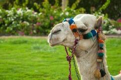 La tête du chameau Photographie stock