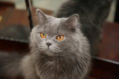 La tête du chat à cheveux longs britannique bleu de mâle images libres de droits
