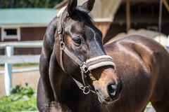 La tête du cheval brun de Hanoverian dans le frein ou du filet avec le fond vert des arbres une herbe pendant le jour d'été ensol photos stock