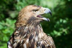 La tête du faucon avec le bec ouvert Images libres de droits