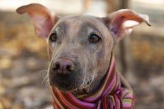 La tête du joli chien pâle dans l'écharpe dépouillée lumineuse sur le fond d'automne/chute photographie stock libre de droits