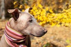 La tête du joli chien pâle dans l'écharpe dépouillée lumineuse sur le fond d'automne/chute photos stock