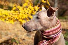 La tête du joli chien pâle dans l'écharpe dépouillée lumineuse sur le fond d'automne/chute photographie stock