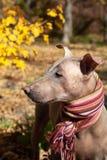 La tête du joli chien pâle dans l'écharpe dépouillée lumineuse sur le fond d'automne/chute images libres de droits