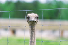 La tête du plan rapproché d'autruche derrière la barrière de fer en captivité Image stock
