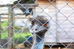 La tête du plan rapproché d'autruche derrière la barrière de fer en captivité, regard à l'appareil-photo Photographie stock