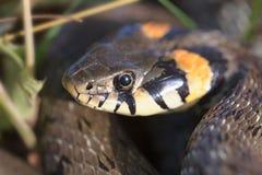 La tête du serpent Photographie stock