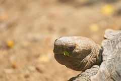 La tête et l'oeil de tortue reviennent et jettent un coup d'oeil ou regardent avec le backg de tache floue Photo stock