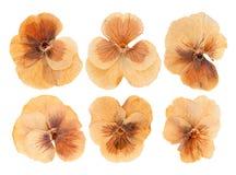 La tête a pressé les fleurs violettes sèches d'isolement Image stock