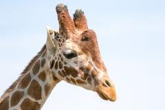 La t?te de la girafe photographie stock