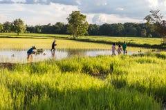 La Tailandia - 9 agosto: Pianta dell'agricoltore il riso ed i loro bambini Fotografia Stock Libera da Diritti