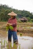 La Tailandia, donna migrante birmana che lavora nel giacimento del riso Immagini Stock