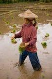 La Tailandia, donna migrante birmana che lavora nel giacimento del riso Immagine Stock