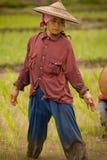 La Tailandia, donna migrante birmana che lavora nel giacimento del riso Immagini Stock Libere da Diritti