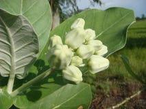 La Tailandia piantata Dahlia Lane bianca Buddha Fotografie Stock Libere da Diritti