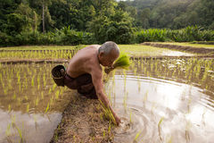 La Tailandia, uomini tailandesi dell'agricoltore che lavorano nel riso sistema Fotografia Stock Libera da Diritti