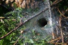 La taille d'une araignée de réseau d'entonnoir Photos stock