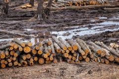 La tala de árboles prevista industrial en primavera, aliso fresco miente en la tierra entre los tocones fotos de archivo