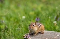 La tamia orientale adorabile sta su roccia piana circondata dall'erba e dai fiori dell'estate Immagini Stock
