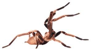 La tarántula agresiva fotografía de archivo