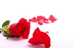 La tarjeta del día de San Valentín roja se levantó Fotos de archivo libres de regalías
