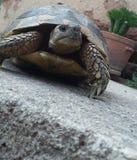 La tartaruga è venuto a me Fotografia Stock