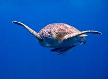 La tartaruga Immagine Stock Libera da Diritti