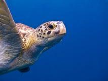 La tartaruga Immagini Stock Libere da Diritti
