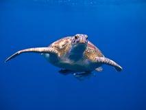 La tartaruga Fotografia Stock