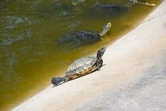 La tartaruga Immagine Stock