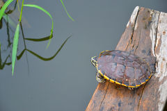 La tartaruga Fotografie Stock Libere da Diritti