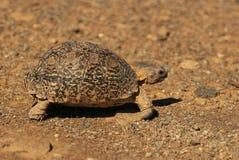 La tartaruga del leopardo ha chiamato inoltre la tartaruga della montagna in una natura sudafricana fotografia stock