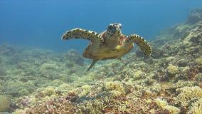 La tartaruga di Hawksbill nuota sopra una barriera corallina 4K Fotografia Stock Libera da Diritti