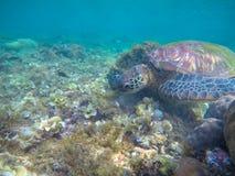La tartaruga di mare mangia l'alga Tartaruga marina esotica sulla foto del fondo del mare Animale oceanico in natura selvaggia fotografia stock libera da diritti