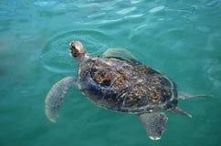 La tartaruga di mare nuota in acqua di mare Immagine Stock