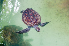 La tartaruga di mare nuota nell'acquario Vista da sopra immagine stock libera da diritti