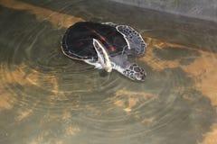 La tartaruga di mare nuota nell'oceano aperto La tartaruga è marrone fotografie stock libere da diritti