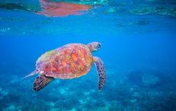 La tartaruga di mare sveglia nuota in acqua di mare Primo piano della tartaruga di mare verde Fauna selvatica della barriera cora Immagini Stock Libere da Diritti