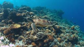 La tartaruga di mare verde nuota su una barriera corallina Immagine Stock Libera da Diritti