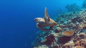 La tartaruga di mare verde nuota su una barriera corallina Immagini Stock