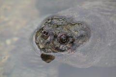 La tartaruga di schiocco rompe la superficie fotografie stock libere da diritti