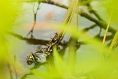 La tartaruga Eared gialla del cursore colpisce il suo si dirige da un lago calmo Fotografia Stock