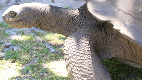 La tartaruga gigante di Aldabra mangia l'erba archivi video