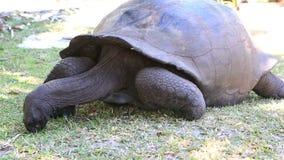 La tartaruga gigante di Aldabra mangia l'erba video d archivio