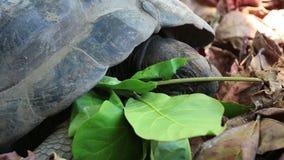 La tartaruga gigante di Aldabra mangia le foglie archivi video