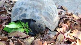 La tartaruga gigante di Aldabra mangia le foglie video d archivio