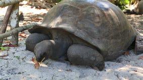 La tartaruga gigante di Aldabra mangia le foglie stock footage