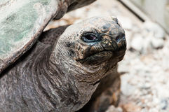 la tartaruga gigante sta guardando Immagine Stock