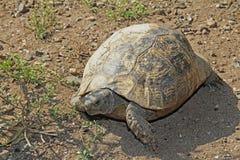 La tartaruga Mediterranea tipica di hermanni del testudo ha camminato su terra Immagine Stock